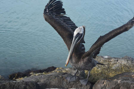 Large pelican extending his wings and showing his feathers off.