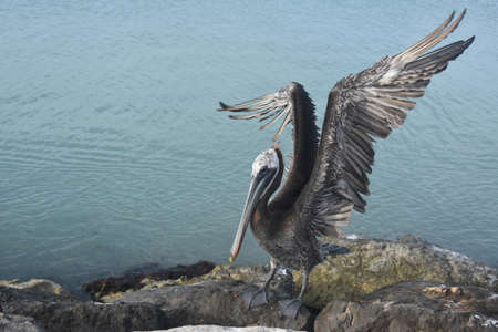Large pelican with its wings extended while standing on rocks. Banco de Imagens