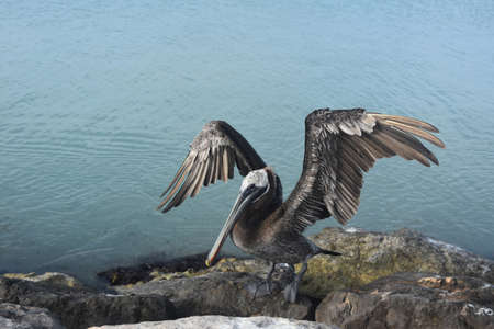 Large pelican with feathers on it's wings showing in the Aruba sun.