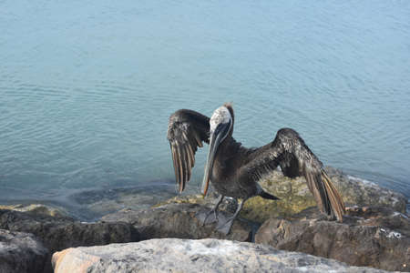 Large pelican standing on a rock in the Carribean with its wings extended.