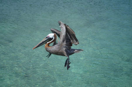 Pelican with his wings folded in flight over the tropical waters in Aruba. Banco de Imagens