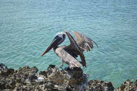 Pelican landing on lava rock along the coast of Aruba.