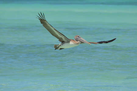 Amazing wing span on a pelican in flight over Aruba's waters. Banco de Imagens