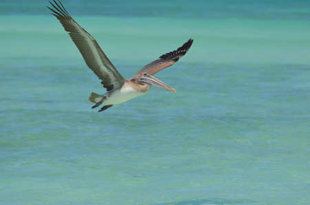 Beautiful pelican in flight in Aruba.