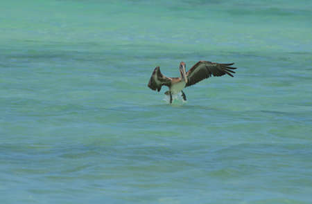 Beautiful pelican landing on tropical waters off of Aruba. Banco de Imagens