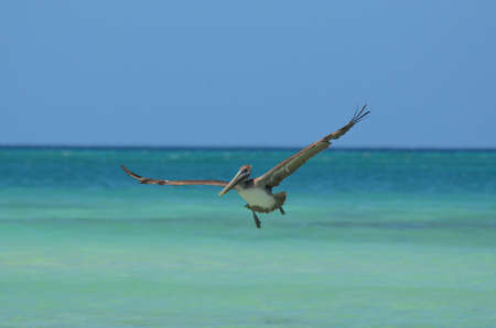 Amazing pelican in flight over tropical waters in Aruba.
