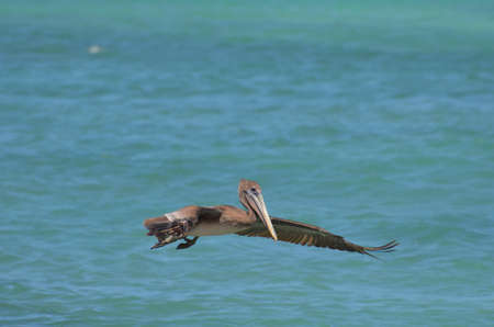 Gray pelican flying over the waters of Aruba.