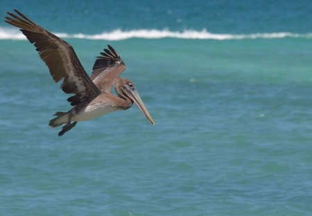 Really great capture of a pelican in flight over water.