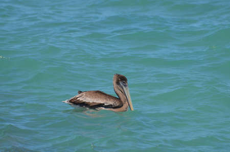 Pelican floating in tropical ocean waters off Aruba. Banco de Imagens