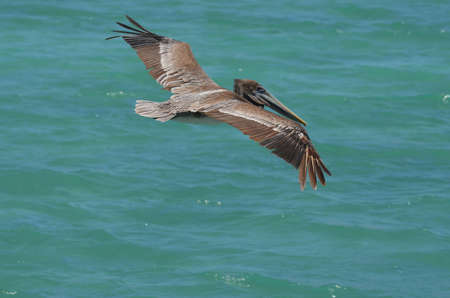 Pelican at flight with his wings extended over the water in Aruba. Banco de Imagens