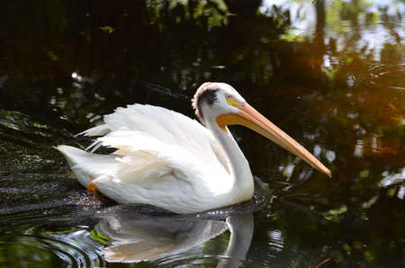 Great white pelican floating in a murky pond.