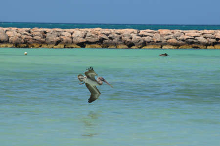 Beautiful pelican diving toward the tropical waters.