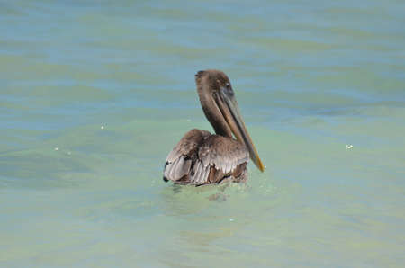Beautiful large brown pelican floating on the water.
