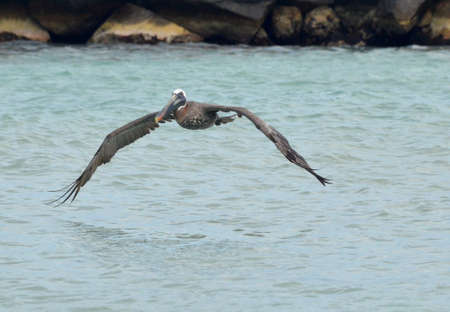 Fantastic pelican hovering just slightly over the waters. Banco de Imagens - 147490380