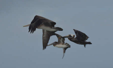 Three brown pelicans flying together in the sky. Banco de Imagens