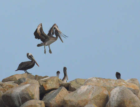 Brown pelican hovering over a rock jetty.
