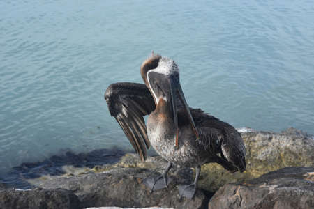 Pelican on rocks fluffing his feathers and extending his wings to dry. Banco de Imagens