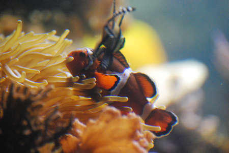 Gorgeous Orange and White clownfish With a Friend