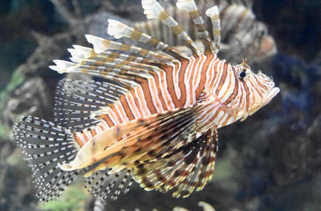 Great striped butterfly cod in the ocean.