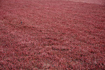 Stunning red cranberry vines growing in a bog. Imagens