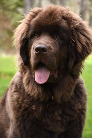 Up close look into the face of a Newfoundland dog. Banque d'images