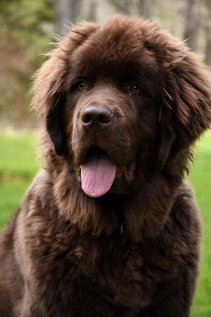 Very cute young brown Newfoundland puppy dog.