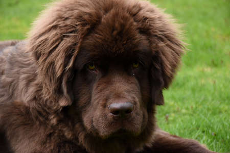 Direct look into the fluffy face of a Newfie dog.