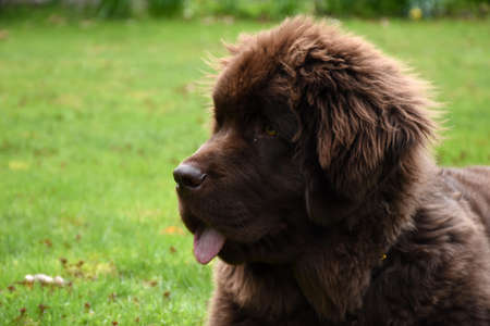 Brown Newfie dog with  a beautiful side profile. Banque d'images