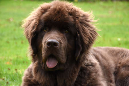 Chocolate brown Newfoundland dog resting in grass.