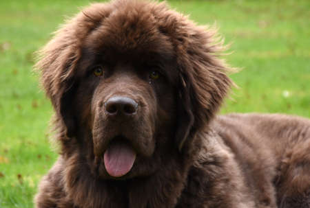 Gorgeous sweet Newfie puppy dog resting in grass. Banque d'images