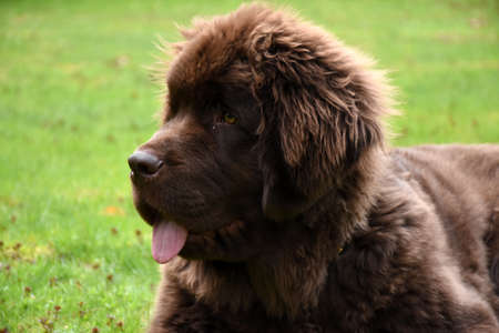 Large breed Newfie dog with his tongue sticking out.