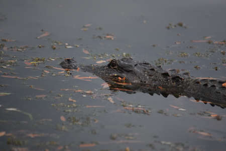 Alligator in the swamp of Southern Louisiana.