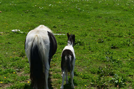 Cute backsides of a mother and baby mini horse in a field.