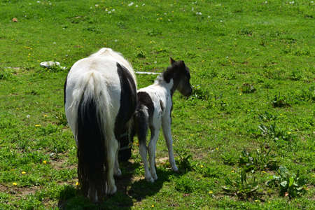 Adorable black and white mini horse mare and foal in a pasture. 免版税图像