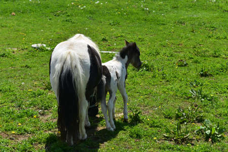 Beautiful black and white mini horse family in a grassy field.