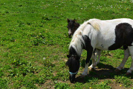Adorable miniature horse foal peaking out behind his mom.