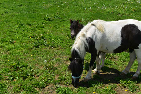 Precious baby black and whtie paint miniature horse and foal.