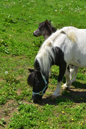 Cute pair of mini horses grazing in a Lancaster County.