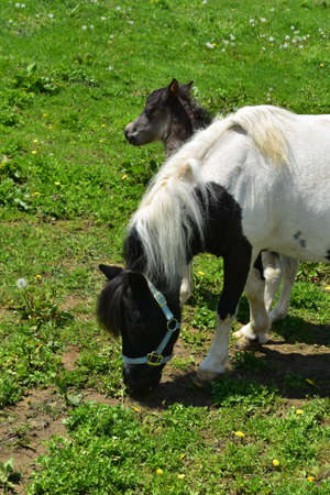 Mare and colt paint mini horse standing in a pasture in Lancaster County. 免版税图像