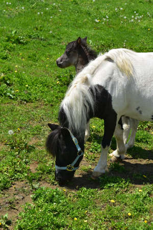 Gorgeous white and black mini horse with a baby in Pennsylvania.