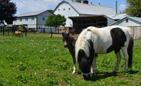Really beautiful mini horse family in a grass pasture.