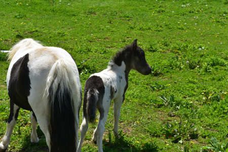 Really sweet mini horse family in a grass pasture.