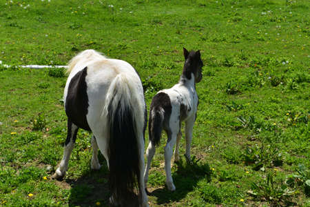 Pasture with a pair of mini horses showing their backsides.