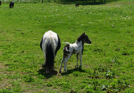 Gorgeous newborn miniature horse standing in a lush green pasture. 스톡 콘텐츠