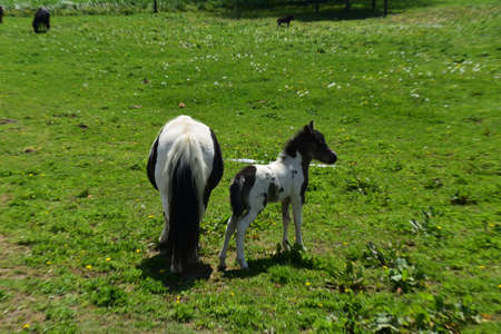 Grass pasture with a black and white mini horse family.