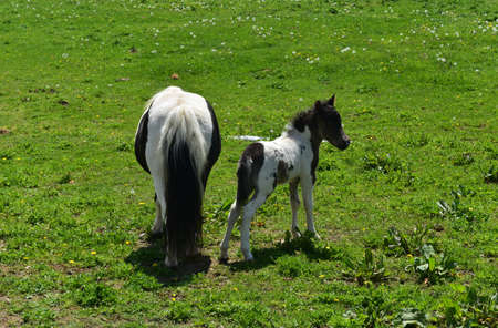 Beautiful black and white mare with her foal in a grass pasture.