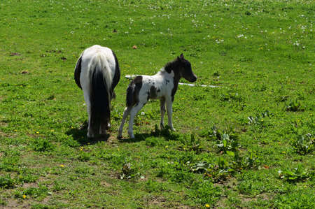 Beautiful white and black miniature horse family in a grass field.