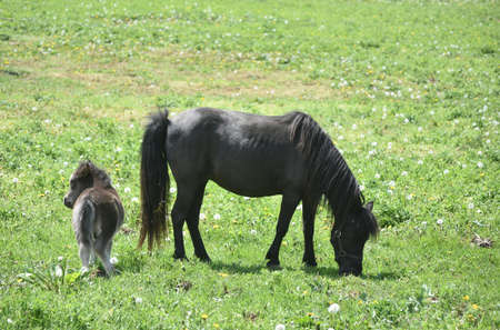 Adorable mini mare with her newborn colt in a grass field.