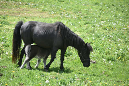Adorable black miniature horse mare in a pasture with a foal under her.