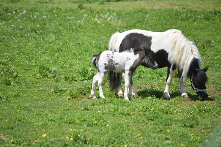 Mare and colt paint mini horse grazing in a pasture. 免版税图像